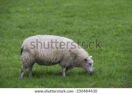 Side view of a single sheep grazing in a green meadow - stock photo