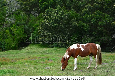 Side view of a single skewbald pony grazing on green pasture in front of trees of the forest. - stock photo