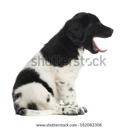 Side view of a Stabyhoun puppy sitting, yawning, isolated on white