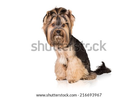 Side view of a Yorkshire Terrier sitting. Isolated on white.