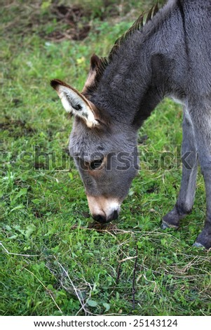 Side view of a young donkey grazing