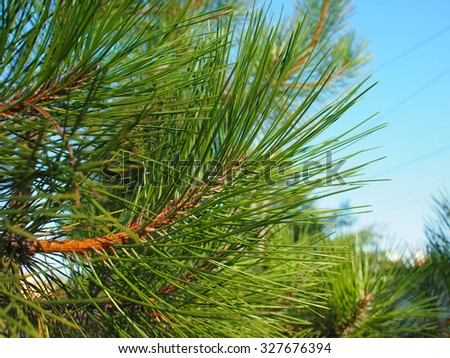Side view of a young pine tree branch with long needles close-up on a background of blue sky - stock photo