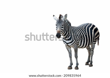 Side view of a young zebra standing on white background