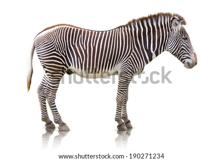 Side view of a Zebra isolated on white - stock photo