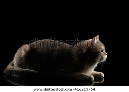 Side view of Adorable British Cat Lying and Looking forward isolated on Black Background, Low key - stock photo
