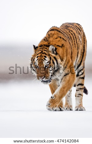 Side view of Amur tiger while walking on snow. He is observing carefully for preying. Amur tiger is walking angrily.