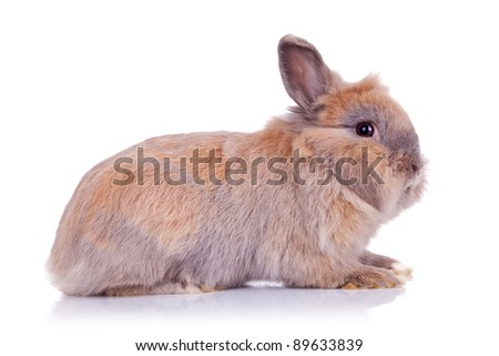 side view of an adorable brown little bunny, on white background - stock photo