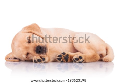 side view of an adorable little labrador retriever puppy dog showing its paws while sleeping on white background - stock photo