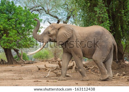 Side view of an African Elephant bull (Loxodonta africana) with trunk up