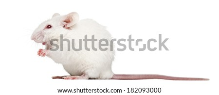 Side view of an albino white mouse sitting, Mus musculus, isolated on white - stock photo