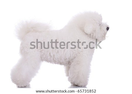 side view of an amazing bichon frise, standing on white background - stock photo