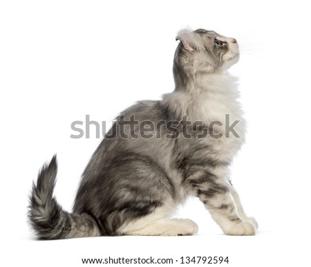 Side view of an American Curl kitten, 3 months old, sitting and looking up in front of white background