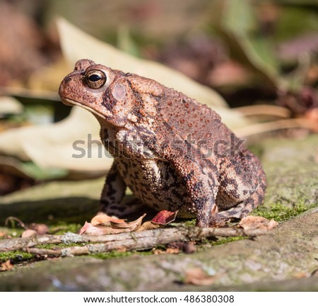 Side view of an American Toad (Anaxyrus americanus)