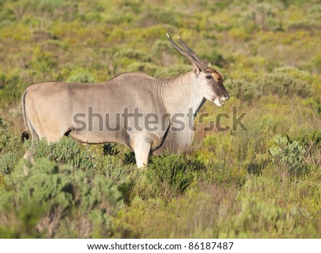 Side view of an Eland cow in early morning light