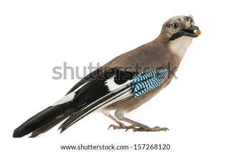 Side view of an Eurasian Jay with food in the beak, Garrulus glandarius, isolated on white - stock photo