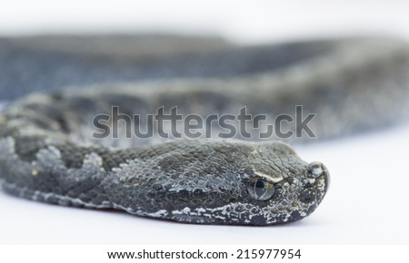 Side view of baby vipera latastei snake over white - stock photo