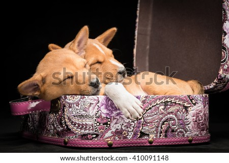 Side view of basenji puppies sleeping in a suitcase against black background - stock photo