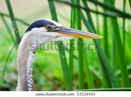 Side View of Blue Herons Detailed Face - stock photo