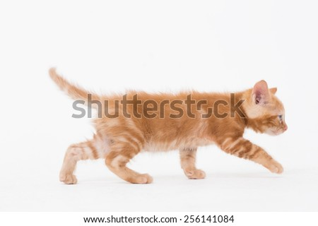 Side view of cat walking over white background - stock photo