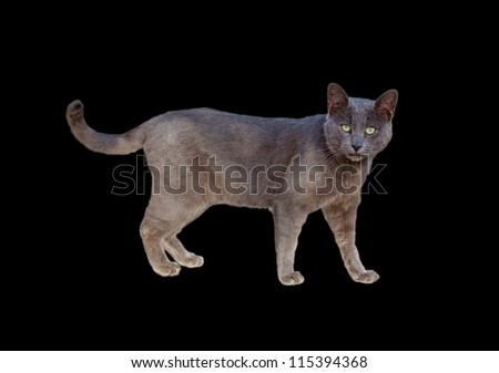 Side view of Chartreux cat standing isolated on black - stock photo