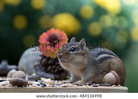 Side view of Chipmunk with stuffed cheeks in Autumn