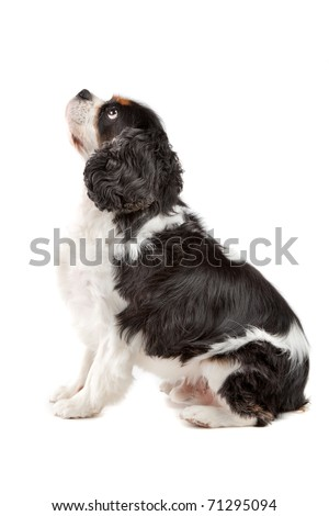 Side view of cute Cavalier King Charles Spaniel dog sitting on a white background