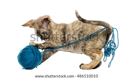 side view of Devon rex cat playing with a wool ball isolated on white