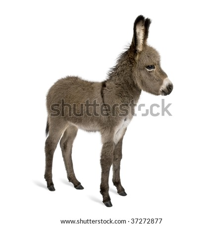 Side view of donkey foal, 2 months old, standing against white background, studio shot - stock photo