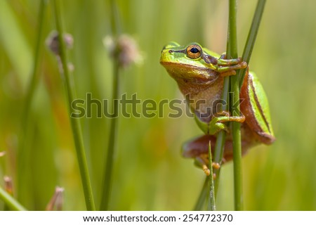 Side view of European tree frog (Hyla arborea) climbing in common rush (juncus effusus) - stock photo