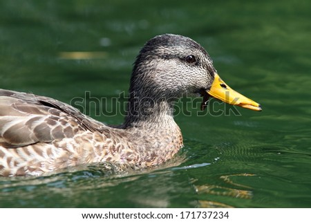 side view of female mallard duck swimming on water - stock photo