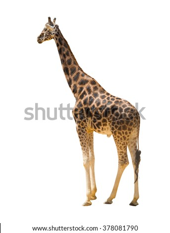 Side view of giraffe. Isolated over white background