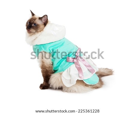 Side view of gorgeous Ragdoll Cat sitting while wearing a pretty green dress with a pink bow. - stock photo