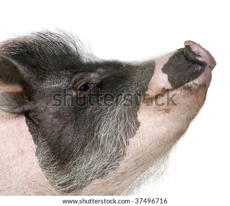 Side view of Gottingen minipig in front of white background, studio shot - stock photo