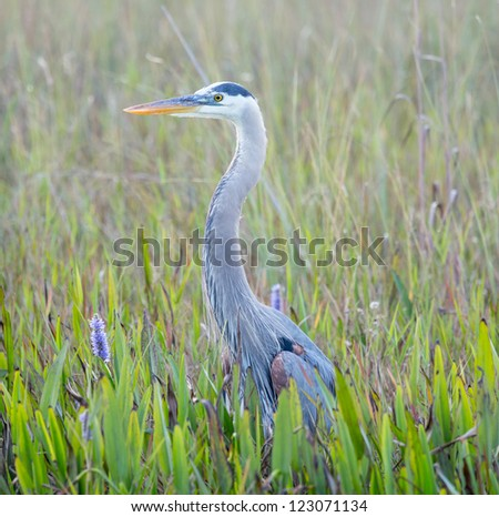 Side view of Great Blue Heron in Everglades National Park Florida - stock photo