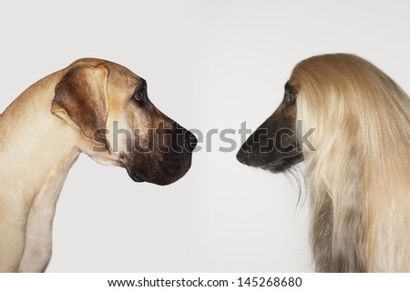 Side view of Great Dane and Afghan hound face to face against white background - stock photo