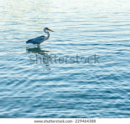 Side View of Grey Heron Standing in Water in Marine Park, Port Launay, Seychelles - stock photo