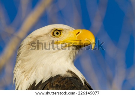 Side view of head of American Bald Eagle in early morning light