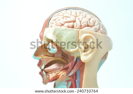 side view of human brain - stock photo