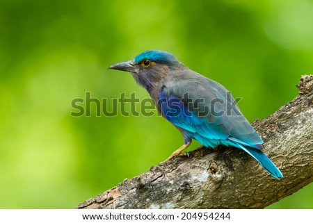 Side view of Indian roller(Coracias benghalensis)  in nature of Thailand - stock photo