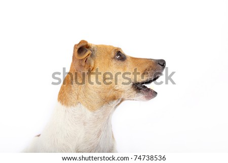 Side view of Jack Russell Terrier head - stock photo