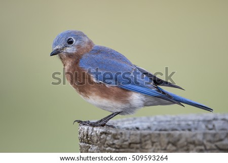 Side View of Male Eastern Bluebird on Birdbath