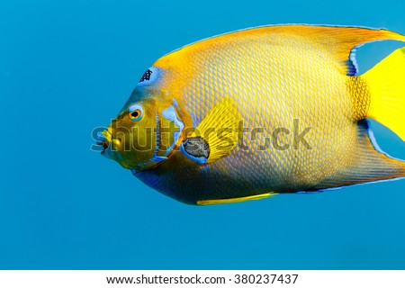 Side view of Queen Angelfish  holacanthus ciliaris in blue water