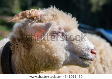 side view of sheep / ram head - eating grass - shallow depth of field - sheep's eye is perfectly sharp - stock photo