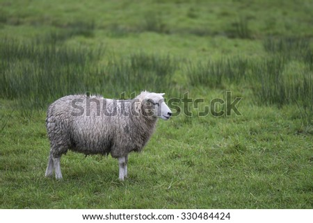 Side view of single sheep in green meadow - stock photo