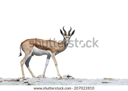 Side view of Springboks over stone ground and white - stock photo