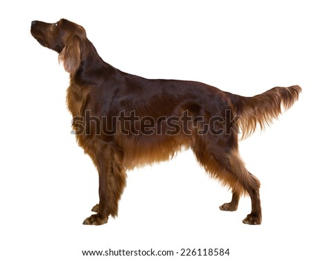 Side view of standing male red irish Setter, isolated on white - stock photo