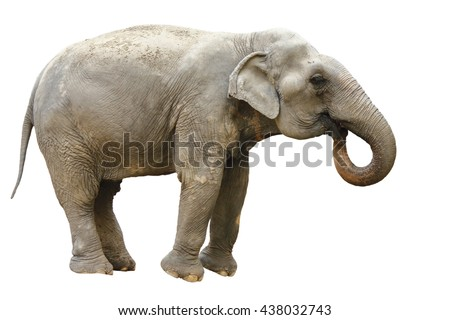 side view of thai asian elephant playing isolated white background
