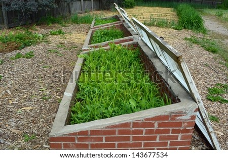 side view of three open Cold frames with mixed vegetables in the garden