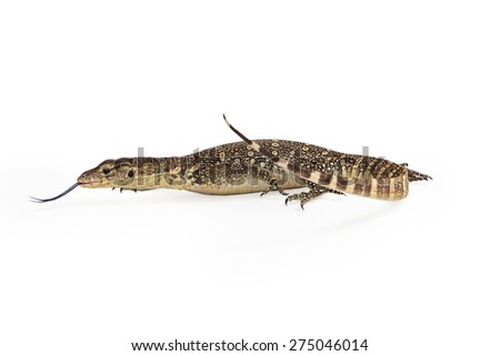 Side view of Varanus salvator, commonly known as Asian Water Monitor with tongue out - stock photo