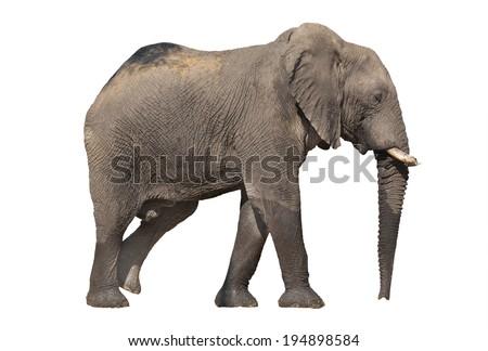 Side view of walking elephant on white background - stock photo